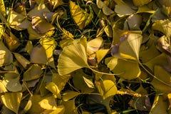 Πεσμένα φύλλα ginkgo το φθινόπωρο στοκ φωτογραφία με δικαίωμα ελεύθερης χρήσης