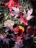 Πεσμένα φύλλα φθινοπώρου με τη δροσιά Στοκ φωτογραφίες με δικαίωμα ελεύθερης χρήσης