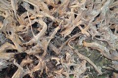 Πεσμένη ρίζα δέντρων Στοκ Φωτογραφία