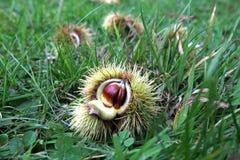Πεσμένοι γλυκοί fruiting οργανισμοί κάστανων Στοκ φωτογραφίες με δικαίωμα ελεύθερης χρήσης