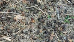 Πεσμένοι κώνοι στις ξηρές βελόνες, αλεσμένη επιφάνεια στο δάσος φιλμ μικρού μήκους