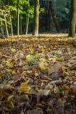 Πεσμένος κίτρινος βγάζει φύλλα Στοκ Εικόνα