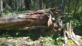 Πεσμένο δέντρο ιχνών Fenlands banff Στοκ Φωτογραφίες