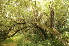 Πεσμένο δέντρο το καλοκαίρι σε πιό forrest Στοκ εικόνα με δικαίωμα ελεύθερης χρήσης