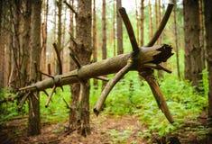 πεσμένο δέντρο Όμορφο πεύκο Ένα θαύμα της φύσης Στοκ Εικόνες