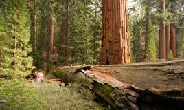 Πεσμένο δασικό γιγαντιαίο Sequoia εθνικό πάρκο Καλιφόρνια δέντρων Στοκ Φωτογραφία