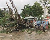 Πεσμένο δέντρο μετά από τη θύελλα στο Βιετνάμ Στοκ Εικόνα
