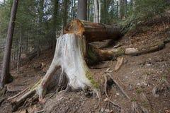 Πεσμένο δέντρο στο δασικό μελλοντικό καυσόξυλο στοκ εικόνα