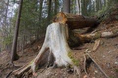 Πεσμένο δέντρο στο δασικό μελλοντικό καυσόξυλο στοκ φωτογραφίες