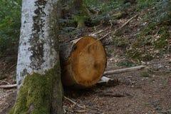 Πεσμένο δέντρο στο δασικό μελλοντικό καυσόξυλο στοκ εικόνες