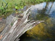 Πεσμένο κούτσουρο στην άκρη ενός ποταμού Στοκ Φωτογραφίες