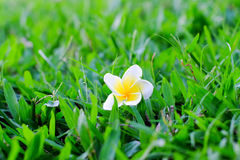 πεσμένο λουλούδι Στοκ φωτογραφίες με δικαίωμα ελεύθερης χρήσης