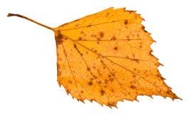 πεσμένο σάπιο κίτρινο φύλλο του δέντρου σημύδων που απομονώνεται Στοκ Εικόνα