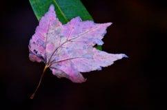 Πεσμένο φθινόπωρο φύλλο Στοκ Φωτογραφία