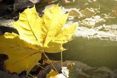 Πεσμένο φύλλο σφενδάμου, κινηματογράφηση σε πρώτο πλάνο Στοκ φωτογραφία με δικαίωμα ελεύθερης χρήσης