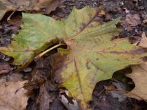 Πεσμένο φύλλο σφενδάμου στα τέλη του φθινοπώρου Στοκ Εικόνες