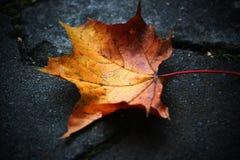 Πεσμένο φύλλο σφενδάμου στο έδαφος, κινηματογράφηση σε πρώτο πλάνο Στοκ Φωτογραφία