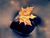 Πεσμένο φύλλο σφενδάμου Σάπιο κίτρινο διαστιγμένο πορτοκάλι φύλλο σφενδάμου στο κρύο νερό Στοκ Φωτογραφίες