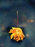 Πεσμένο φύλλο σφενδάμου Σάπιο κίτρινο διαστιγμένο πορτοκάλι φύλλο σφενδάμου στο κρύο νερό Στοκ Εικόνες