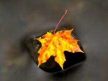 Πεσμένο φύλλο σφενδάμου Σάπιο κίτρινο διαστιγμένο πορτοκάλι φύλλο σφενδάμου στο κρύο νερό Στοκ φωτογραφίες με δικαίωμα ελεύθερης χρήσης