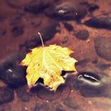 Πεσμένο φύλλο σφενδάμου Σάπιο κίτρινο διαστιγμένο πορτοκάλι φύλλο σφενδάμου στο κρύο νερό του ρεύματος βουνών Γ Στοκ εικόνα με δικαίωμα ελεύθερης χρήσης