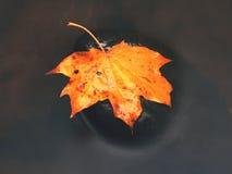 Πεσμένο φύλλο σφενδάμου Σάπιο κίτρινο διαστιγμένο πορτοκάλι φύλλο σφενδάμου στο κρύο νερό του ρεύματος βουνών Γ Στοκ Εικόνα