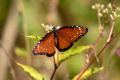 Πεταλούδα αντιβασιλέων στοκ εικόνες