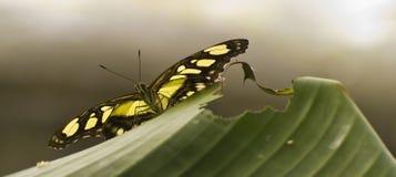 πεταλούδα γλυκάνισου swal Στοκ φωτογραφίες με δικαίωμα ελεύθερης χρήσης