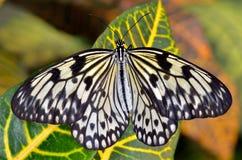 πεταλούδα εξωτική Στοκ εικόνα με δικαίωμα ελεύθερης χρήσης