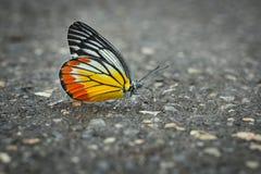 Πεταλούδα, ζωηρόχρωμη στο φτερό, όμορφο, στο δρόμο Στοκ Φωτογραφία