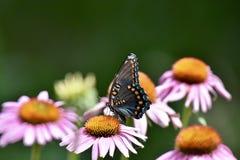 Πεταλούδα θάμνων καρυκευμάτων στοκ εικόνα