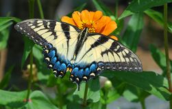 πεταλούδα ΙΙ Στοκ εικόνα με δικαίωμα ελεύθερης χρήσης