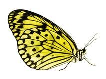 Πεταλούδα ικτίνων εγγράφου που απομονώνεται στο άσπρο υπόβαθρο, αλλαγή χρώματος σε κίτρινο στοκ φωτογραφίες