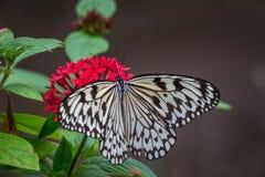 Πεταλούδα ικτίνων εγγράφου στα κόκκινα λουλούδια στοκ φωτογραφία με δικαίωμα ελεύθερης χρήσης