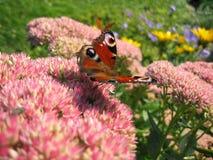 πεταλούδα ι Στοκ Εικόνες