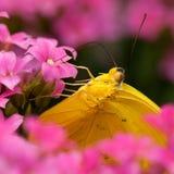 πεταλούδα κίτρινη Στοκ Εικόνες