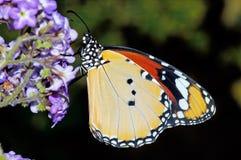 πεταλούδα κίτρινη Στοκ Εικόνα