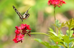 Πεταλούδα κινηματογραφήσεων σε πρώτο πλάνο στο κόκκινο λουλούδι Στοκ Εικόνες