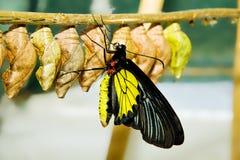 πεταλούδα κλάδων Στοκ φωτογραφία με δικαίωμα ελεύθερης χρήσης