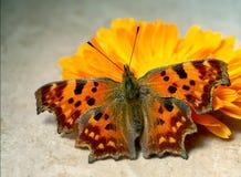 Πεταλούδα κομμάτων, γ-λεύκωμα Polygonia, με ένα marigold λουλούδι στην ηλιοφάνεια Σημειώστε ότι αυτό είναι μια ζωντανή πεταλούδα, στοκ εικόνες με δικαίωμα ελεύθερης χρήσης