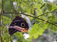 Πεταλούδα κουκουβαγιών Στοκ εικόνα με δικαίωμα ελεύθερης χρήσης