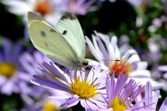 Πεταλούδα λευκού λάχανων στο λουλούδι του αστέρα Στοκ εικόνες με δικαίωμα ελεύθερης χρήσης