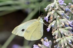Πεταλούδα λευκού λάχανων Στοκ Φωτογραφία