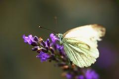 Πεταλούδα λευκού λάχανων lavender στο λουλούδι Στοκ Φωτογραφία