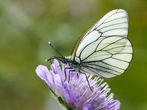 Πεταλούδα - μαύρος-φλεβώές άσπρο crataegi Aporia Στοκ Εικόνες