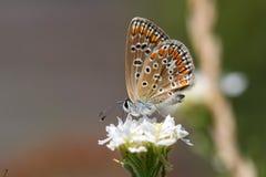 Πεταλούδα με τα επισημασμένα καθίσματα φτερών στο άσπρο λουλούδι Στοκ Φωτογραφίες