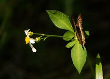 Πεταλούδα με τα μερικώς κλειστά φτερά σε εγκαταστάσεις μαργαριτών στοκ εικόνες