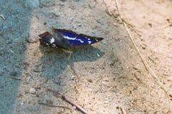 Πεταλούδα με τα πράσινα proboscis, πεταλούδα Apatura Ηλεία Στοκ Εικόνες