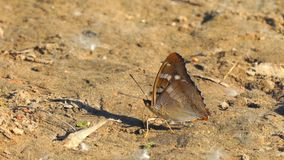 Πεταλούδα με τα proboscis στο καφετί έδαφος φιλμ μικρού μήκους