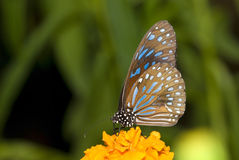 Πεταλούδα με τη φυσική ανασκόπηση στοκ φωτογραφία με δικαίωμα ελεύθερης χρήσης
